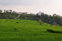 Farmer in stepped rice terraces, Java, Indonesia Royalty Free Stock Image