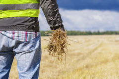 Farmer with straw in hand on field Stock Image