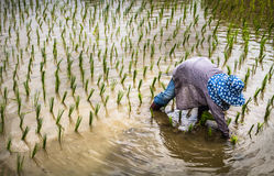 Farmer with straw hat transplanting rice seedlings in paddy field Stock Photo