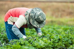 Farmer at strawberry field Royalty Free Stock Photos