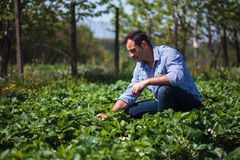 Farmer in strawberry field Royalty Free Stock Photography
