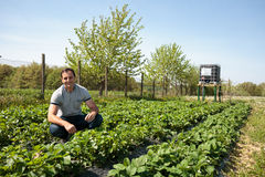 Farmer in strawberry field Stock Image