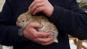 A Domestic Rabbit. A farmer Stroking A Domestic Rabbit stock footage