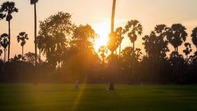 Farmer at sugar palm and rice farm at sunset