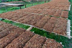 Farmer is sun-drying tobacco on the bamboo mats. royalty free stock photography