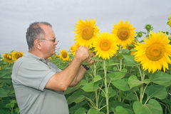 Farmer on a sunflower field. Inspecting the crop stock photo