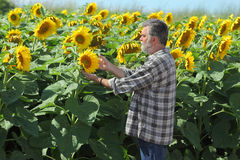Farmer in sunflower field. Farmer or agricultural expert inspecting quality of sunflower in field Royalty Free Stock Images