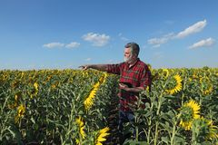Farmer in sunflower field gesturing. Farmer or agronomist examining sunflower plant in field and pointing with tablet in other hand Stock Photos
