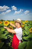 Farmer in sunflower field Royalty Free Stock Photography