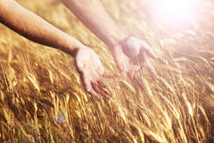 Farmer in sunny field touching his wheat Royalty Free Stock Images