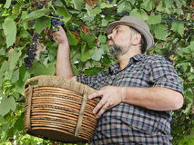 Farmer in suspended vineyard Stock Photo