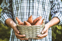 Farmer with sweet potatoes Royalty Free Stock Photography