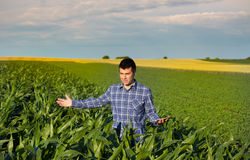 Farmer with tablet in corn field stock photography