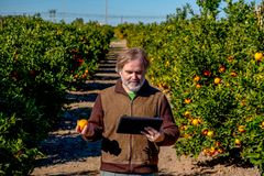 Farmer with a tablet observes an orange in his field of cultivation stock image