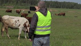 Farmer with tablet PC filmed cows at pasture stock footage