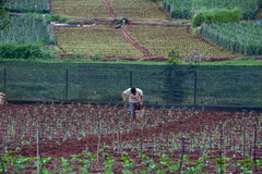 The farmer take care of his tomato field Stock Photo