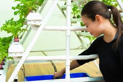 Farmer taking care her hydroponic garden set up in a green house. Sustainability, Hydroponic system in a farm. Growing beets using a PVC piping system stock image