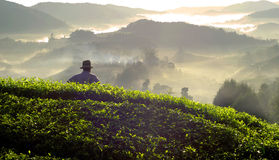 Farmer Tea  Leaf Plantation Malaysia Concept Stock Images