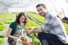 Farmer teaching new employee to gardening Stock Photography
