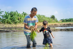 A Farmer is teaching a small child to work on a rice paddy field. Stock Image