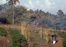 Farmer tending crops, Tobago. Stock Images