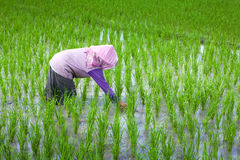 Farmer tending his paddy field, Indonesia Stock Photos
