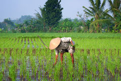 Farmer tending a paddy field, Indonesia Royalty Free Stock Image