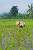 Farmer tending a paddy field, Indonesia Stock Photography