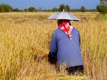Farmer In Thailand 3 Royalty Free Stock Images