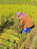 The farmer of Thailand Royalty Free Stock Photography