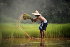 Farmer thailand. Farmer on green fields holding rice baby royalty free stock photo