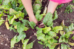 Farmer thinning out and mulching young beetroot plants Stock Photography