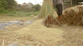 Farmer threshing rice, threshes rice, rice farming stock footage