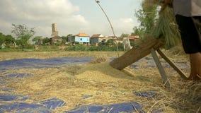 Farmer threshing rice, threshes rice, rice farming stock video footage