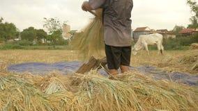 Farmer threshing rice, threshes rice, rice farming stock video