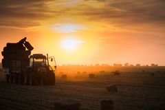 Farmer throw hay bales in a tractor trailer. Bales of wheat at field in sunset stock photography