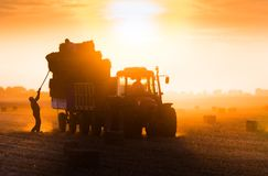 Farmer throw hay bales in a tractor trailer. Bales of wheat at field in sunset royalty free stock image