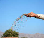 A farmer throwing DAP fertilizer in the fields royalty free stock image