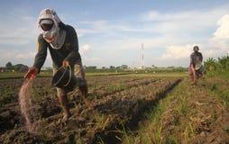Farmer throwing fertilizer. Farmer throw a fertilizer to their farm in solo, central java, indonesia royalty free stock image