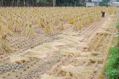 Farmer  tied paddy straw by a bunch . Royalty Free Stock Images