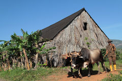Farmer and tobacco drying shed Royalty Free Stock Photography