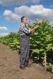 Farmer in tobacco field royalty free stock photo