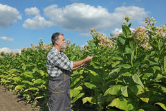 Farmer in tobacco field. Farmer or agronomist examine blossoming tobacco plant in field stock image