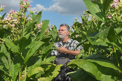 Farmer in tobacco field. Farmer or agronomist examine blossoming tobacco plant in field stock images