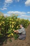 Farmer in tobacco field stock photos