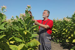 Farmer in tobacco field royalty free stock photography