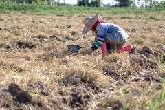 Farmer in tobacco field royalty free stock photos