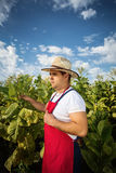 Farmer tobacco Royalty Free Stock Photo