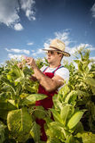 Farmer tobacco Royalty Free Stock Images