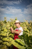 Farmer tobacco Royalty Free Stock Photography